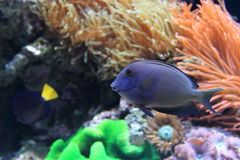Blue doctorfish Royalty Free Stock Photography
