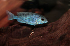 Blue dolphin cichlid (Cyrtocara moorii) aquarium fish Stock Images
