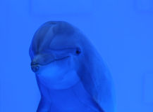 Blue dolphin underwater. Swimming and looking at us, great wildlife background stock images