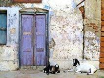 Goats sitting in front of door entrance, Rajshahi, Bangladesh. Blue door, white wall, black and white goat in Rajshahi Stock Images