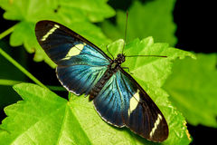 Blue Doris Long Wing. Doris Long Wing Butterfly Resting After Emerging From Cocoon Royalty Free Stock Images