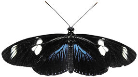 Blue Doris Longwing Stock Photography