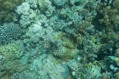 A Blue Dot Grouper Royalty Free Stock Photos