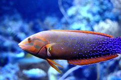 Blue Dot Jawfish Stock Photography