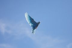 Blue dove flying in the blue sky Stock Photos