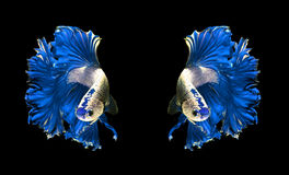 Blue dragon couple siamese fighting fish, betta fish isolated on Stock Photo
