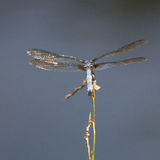 Blue Dragon. A blue dragonfly perches on a limb at the edge of the lake Royalty Free Stock Photo