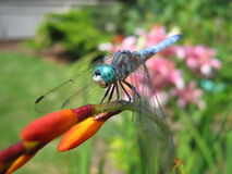 Blue Dragon fly. Dragon fly in the flower garden Stock Photos