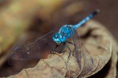 blue dragon fly Zdjęcie Stock