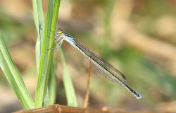 Blue Dragon Fly. Thin blue dragonfly clutching onto a blade of grass Royalty Free Stock Images