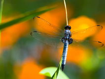 Blue dragon fly - Common skimmer Royalty Free Stock Photos