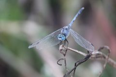 Blue dragon fly Royalty Free Stock Photos