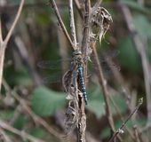 Blue dragon fly Stock Photography