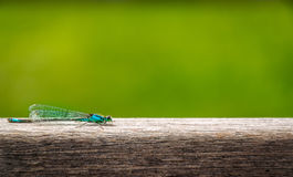 Blue dragon - fly resting on wooden board Royalty Free Stock Image