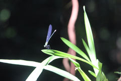 Blue Dragon Fly Stock Photo