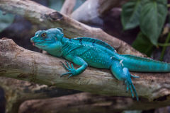 Blue dragon like lizzard Royalty Free Stock Image