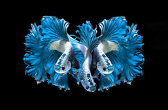 Blue dragon siamese fighting fish, betta fish  on black Stock Photography