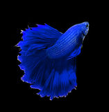 Blue dragon siamese fighting fish, betta fish isolated on black Royalty Free Stock Photo