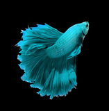 Blue dragon siamese fighting fish, betta fish isolated on black Stock Photos