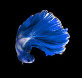 Blue dragon siamese fighting fish, betta fish isolated on black Stock Images