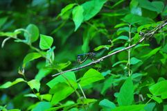 Blue Dragonflies Mating. In the forest on a branch royalty free stock images