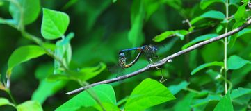 Blue Dragonflies Mating. In the forest on a branch stock photo