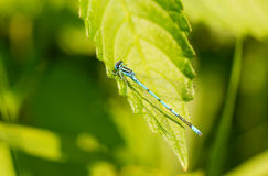 Blue dragonfly. On a leaf in the sun Royalty Free Stock Images