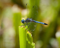 Blue dragonfly Royalty Free Stock Photos
