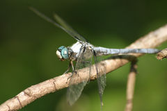 Blue Dragonfly. Blue-eyed Dragonfly Royalty Free Stock Photo
