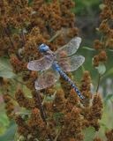 Blue Dragonfly. A blue-eyed darner dragonfly resting on a spent steeplebush blossom in late august stock image