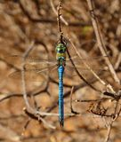 Blue dragonfly, anax imperator Stock Image