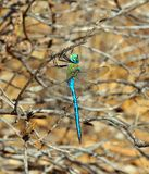 Blue dragonfly Anax imperator Royalty Free Stock Photography