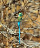 Blue dragonfly Anax imperator Stock Photos