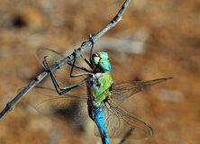 Blue dragonfly Anax imperator Royalty Free Stock Image