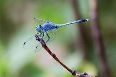 Blue dragonfly. 