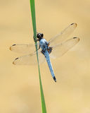 Blue dragonfly. Beautiful light blue dragonfly perched on a blade of grass Royalty Free Stock Images