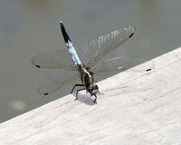 Blue dragonfly Royalty Free Stock Photo
