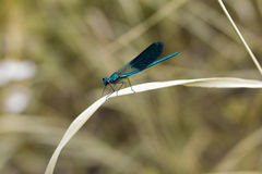 Blue dragonfly on a blade Stock Image
