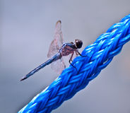 Blue Dragonfly on Blue Rope Royalty Free Stock Photography