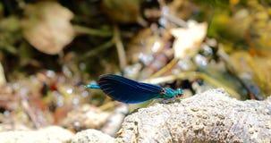 Blue dragonfly, calopteryx virgo Royalty Free Stock Photo