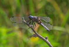 Blue dragonfly. Close up of blue dragonfly Royalty Free Stock Photo