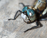 Blue dragonfly close-up Stock Photo