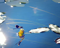 Blue dragonfly. Close up of blue dragonfly reflected in blue water Stock Photos