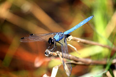 Blue Dragonfly Royalty Free Stock Image