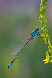 Blue Dragonfly Closeup Stock Images