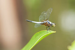 Blue Dragonfly. Closeup of a blue dragronfly resting on leaf Royalty Free Stock Photography