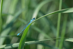 Blue dragonfly closeup on a green blade of grass royalty free stock photos