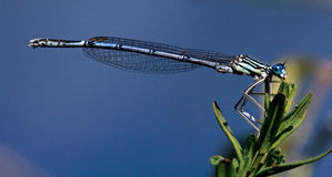 Blue dragonfly coenagrion puella Stock Photos