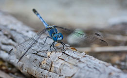 Blue dragonfly (Coenagrionidae) standing on a stick Stock Image