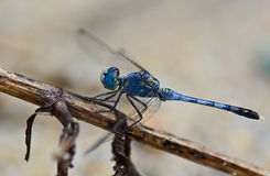 Blue dragonfly (Coenagrionidae) standing on a stick ; selective Stock Image